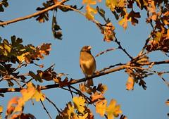 autumn bird oak goldenhour