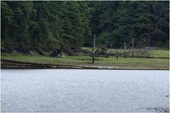 _MG_2567HDRa (markbyzewski) Tags: bear alaska ugly hdr blackbear shrimpbay