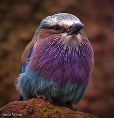 Colour explosion (Steve Wilson - over 9 million views Thanks !!) Tags: africa uk greatbritain england color colour macro bird nature beautiful animal closeup zoo nikon colorful close cheshire britain african wildlife great feathers conservation chester lilac roller savannah colourful d200 captive avian captivity upton chesterzoo breasted nikond200 caughall