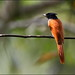 Asian Paradise Flycatcher (Terpsiphone paradisi) @ Sinharaja Forest Reserve.