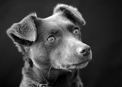 tess (Anneke Gal) Tags: dog white black hond gal anneke zwart wit
