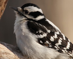 Downy Woodpecker (Diane Marshman) Tags: winter portrait white black nature face up birds female dark season eyes woodpecker breast close pennsylvania wildlife chest tail birding wing beak feathers picture pa spots cap underneath throat northeast downy northeastern sides vision:outdoor=0625