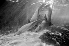 ND7_3672.jpg (cy-photography) Tags: amusment animals busch dolphin dolphins florida largemammal mammal mammals nature ocean orlando park saltwater sealife seaworld themepark underwater underwatermammal water