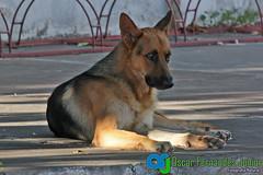 Billy (Oscar Fernandes Junior) Tags: co cachorro ms billy pastoralemo oscarfernandesjunior