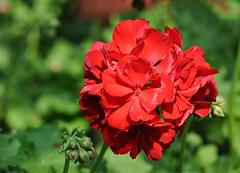 Red Geranium (Stella Blu) Tags: flowers red geranium stellablu nikkor105mmf28gvrmicro nikond5000 storybookwinner pregamewinner picmonkey:app=editor