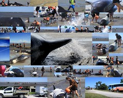 Saving pilot whales (Lauchlan Mackay Photography) Tags: sea sun collage sand surf wind southisland whales lowtide pilot goldenbay farewellspit savinglives projectjonah jan13th2014 commumityeffort