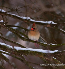Cardinal in Snowy Pine (Mellon 99) Tags: wild snow bird nature birds wings backyard cardinal wildlife feathers perch perched delaware mellon99photography davemellon