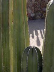 Translucent (Distraction Limited) Tags: arizona cactus backlight tucson entryway backlit botanicalgardens backlighting fencepost tohonochulpark stenocereus cactusfence pachycereusmarginatus stenocereusmarginatus mexicanfencepost desertcorner
