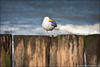 sea gull (heavenuphere) Tags: sea seascape bird beach water netherlands coast europe waves seagull gull nederland zeeland pole northsea coastline poles veere 70200mm walcheren domburg