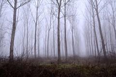 Bosco nella nebbia () Tags: trees winter mist misty fog alberi forest photography photo foto photographer photos foggy fotografia nebbia inverno stefano fotografo bosco trucco padana zush d7100 stefanotrucco