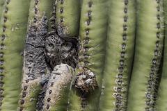 Western Screech Owl (Eric Gofreed) Tags: arizona owl greenvalley maderacanyon westernscreechowl cochisecounty