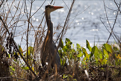 Time to breed (K.Logan.Sullivan) Tags: florida breeding largo plumage greatbueheron lakeseminolepark