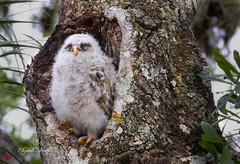 Barred Owl and Owlets (Liza Morffiz) Tags: owl barred owlets
