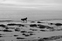 Race the waves! (s.haydon) Tags: blackandwhite dog seaweed 50mm waves canine southaustralia brightonbeach niftyfifty pentaxk20d