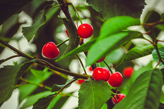 CHERRIES (NIKOZAR (Nicola Zaratta)) Tags: verde green nature fruit cherries albero frutta ciliege nikond90