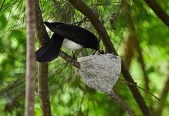 Feeding the babies (Luke6876) Tags: williewagtail fantail bird animal wildlife australianwildlife nest family