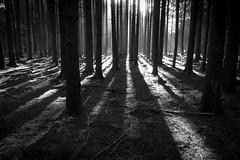 Light and shadow (matwolf) Tags: monochrome woods wood wald foret forest bw blackandwhite black blanc blackwhite bume arbres arbre autumn noiretblanc ngc nature noir natur noirblanc schwarz schwarzweis s