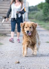 Fetch (Willers1404) Tags: dog fetch rock happy joyful pet walk ace canterbury bekesbourne games golden retriever having fun