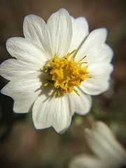 """Near Perfection"" A macro shot of a tiny, delicate, white wildflower in its near perfection. Flower Petal Fragility Close-up Macro Newmexicophotography Macro_collection Macro Photography Macro Beauty Wildflower White Flower Detail at Torrance County, New (bradhodges09) Tags: flower petal fragility closeup macro newmexicophotography macrocollection macrophotography macrobeauty wildflower whiteflower detail"