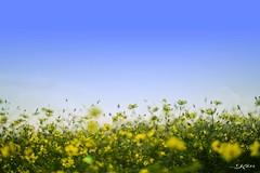 KEN_0482 (KenPhotographys) Tags: travelphoto travelasia travelphotograhy travelworld travel travelthejapan traveljapan tokyo landscape seetheworld snapshot snap scenery shinjuku shibuya flower flowers sky skyporn bluesky sunset cosmos