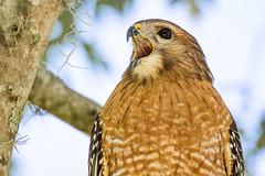 Kee-ahh! (Michael R Hayes) Tags: redshoulderedhawk tamron150600g2 a022 tamron 600mmf63 sharp hawk raptor bird birding audubon nature wildlife birdsofprey