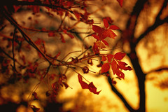 Autumn Embrace (miss.interpretations) Tags: autumn fall warm red gold leaves trees foliage bokeh evening sunset goldenlight october seasons seasonal harvest applered colorado castlerock canonm3