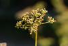 20160924_Cinq_Sens_Yvoire (8 sur 13) (calace74) Tags: fleurs macro jardinsdes5sens yvoire rhonealpes foretderipaille hautesavoie nature panorama thononlesbains