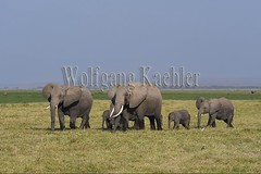 10076333 (wolfgangkaehler) Tags: 2016africa african eastafrica eastafrican kenya kenyan amboseli amboselikenya amboselinatlparkkenya amboselinationalpark wildlife mammal elephant africanelephant africanelephantloxodontaafricana herd babyanimal babyanimals babyelephant