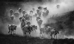 _MG_6315 (Khantz) Tags: monochrome blackandwhite herd cow dust burma myanmar boy