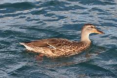 nade real / Mallard (Anas platyrhynchos) (avgomo) Tags: usa unitedstates eeuu estadosunidos chicago illinois fauna aves birds pato duck
