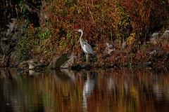 _F0A9617.jpg (Kico Lopez) Tags: ardeacinerea galicia garzareal lugo mio spain aves birds rio mio
