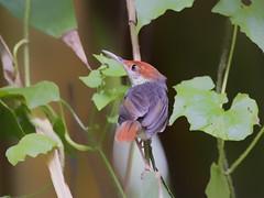 Rufous-tailed Tailorbird _ Zoo