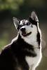 Husky by Lakeside (Jonathan Casey) Tags: lake broad uea rspce norwich norfolk husky huskies d810 200mm f2 vr vr1 dog