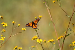 Monarch Butterfly #356 (Az Skies Photography) Tags: october 9 2016 october92016 10916 1092016 insect flying butterfly flyinginsect macro canon eos rebel t2i canoneosrebelt2i eosrebelt2i madera canyon arizona az maderacanyon maderacanyonaz wildlife sonoran desert sonorandesert monarch monarchbutterfly danaus plexippus danausplexippus