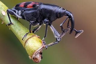 Cercidocerus sanguinipes