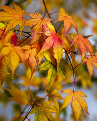 The Colors of Autumn (Akito-X) Tags: ahorn autumn bltter canonef50mmf18ii canoneos7dmarkii colors farben herbst japanesemaple japanischerahorn leafs maple