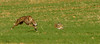 Cristobal-161027-0126.jpg (Cristobal1062) Tags: velocidad galgos liebres belleza greuhound caza dog chien levrier