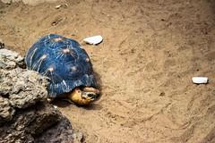 Wenn hier noch mal einer aufmuckt, wird er den Tieren zum Fra vorgeworfen und ich meine das todernst! (S. Ruehlow) Tags: exotarium schildkrte schildkrtengehege zoo zoologischergarten zoofrankfurt strahlenschildkrte astrochelysradiata landschildkrte