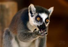Katta licks all his fingers (MaiGoede) Tags: lemurcatta primaten primates feuchtnasenprimaten animals animal animalportrait tiere tier tierparkundfossiliumbochum bochum nrw germany lemuren strepsirrhini lemuriformes lemuridae gewöhnlichemakis katta nikon fauna