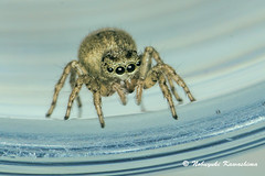 Jumping Spider (Silveryway) Tags: jumping spider insect macro