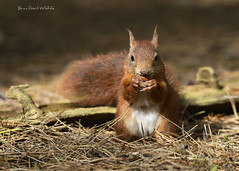 Formby Pinewoods 27 193 (Brian Gort Wildlife Photography) Tags: red squirrel formby pinewoods pine pinewood pines nature naturallight natural native national nationaltrust nikon sigma sigma300mmf28prime sun sunlight sunshine catchlight colour colours colourful cream brown briangort bri black white fur autumn animal