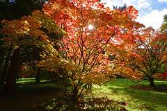 Autumn Westonbirt (Phil Bartlett Photography) Tags: westonbirt autumn gloucestershire arboretum leaves colour philbartlettphotographycom