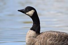 Canada Goose (careth@2012) Tags: goose wildlife beak feathers canadagoose nature