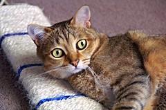 playtime ! (rogersmithpix) Tags: cats feline pets impressedbeauty kissablekat bestofcats cc100 lmaoanimalphotoaward kittyschoice