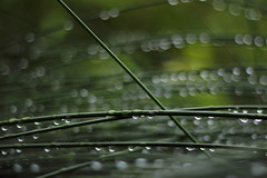 (Bergamask) Tags: canon eos 600d nature bokeh raindrops 50mm f18 niftyfifty