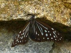 Nilgiri tiger (LPJC) Tags: butterfly munnar kerala india 2015 lpjc nilgiritiger endemic paranticanilgiriensis