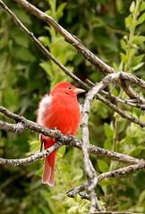 Piranga rubra (Pablo Leautaud.) Tags: sanluistlaxialtemalco xochimilco mexico ciudaddemexico df cdmx naturaleza pleautaud aves avifauna bird pirangarubra