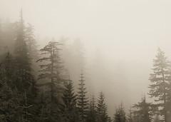 Foggy Firs (loloboho) Tags: fog forest trees bw blackwhite blackandwhite monochrome mountains mthood landscape lolopass