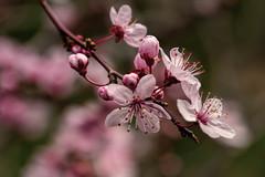 Plum blossom (WA_David) Tags: type indoororoutdoor color flowers outdoor year photography 2009 macro tree plumblossom plants style orientation horizontal plumtree