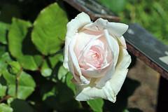 Maig_1384 (Joanbrebo) Tags: canoneos70d efs18135mmf3556is eosd autofocus barcelona blumen blossom park parque parc parccervantes garden jard jardn flors flores flowers fiori fleur